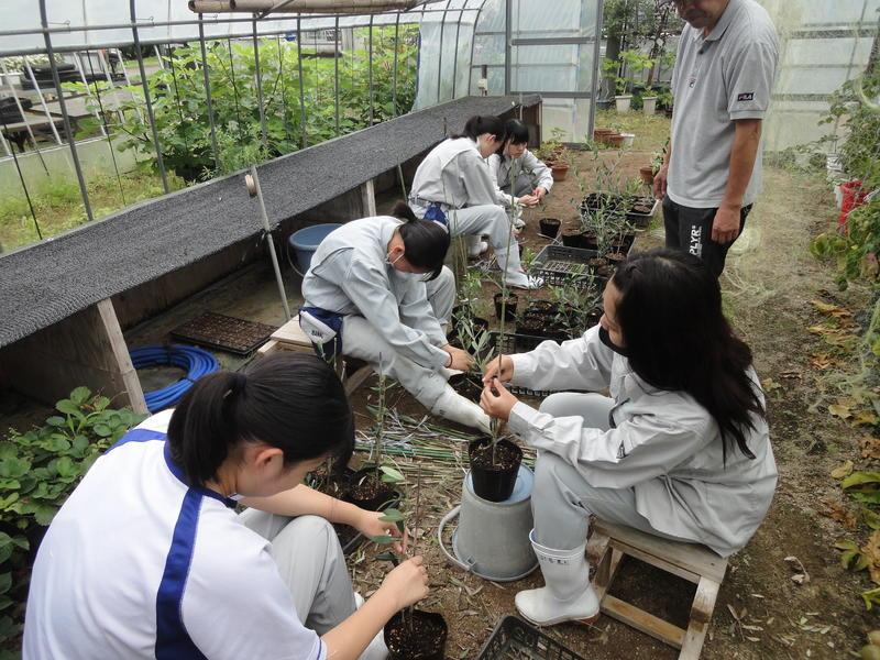 オリーブの鉢上げ 園芸科2年果樹専攻生