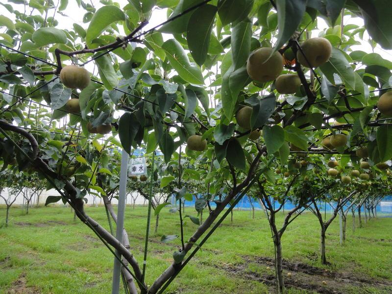 ナシ栽培状況 果樹園