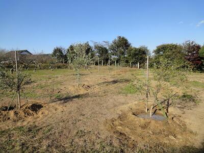 オリーブ改植後の全景